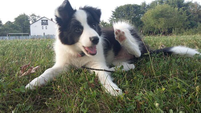 Roxy - šteňa Border kólie